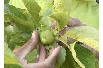 次郎柿の摘果作業