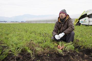寒気の中で栽培するにんじん