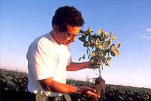 青大豆の収穫はタイミングが勝負