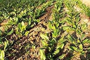 酷寒の中で野菜がゆっくり成長
