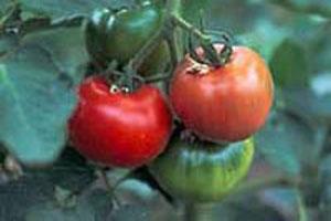 トマトジュースの糖度がさらに高く