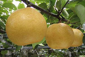 今年の新高梨はゆっくり成長