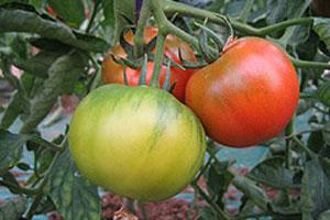 今年のトマトも10度を超える糖度に