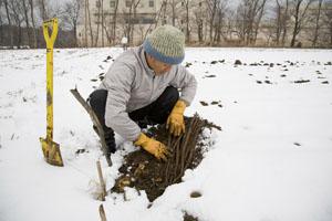 サラダごぼう、雪の下で休眠中