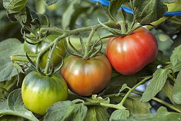 もともとは塩田。 過酷な環境が生んだトマト