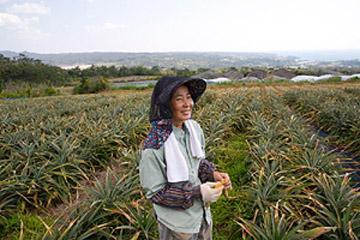 どこまでおいしくなる? パイナップル産地に吹く新風
