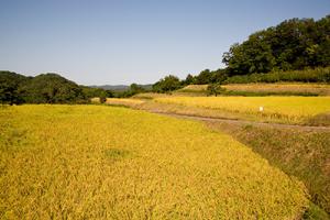 秋の空、黄金色にかがやく健菜米の棚田。今年も倒れることなく、健やかに育った