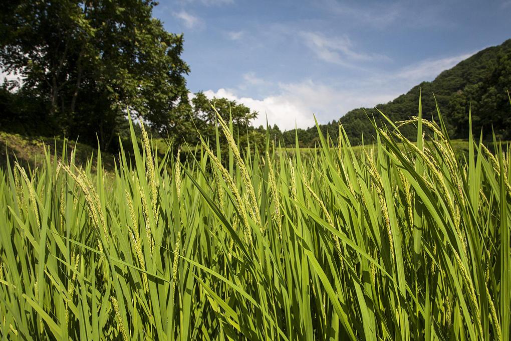 登熟稲の日光浴