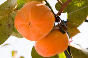 《10月》太秋柿