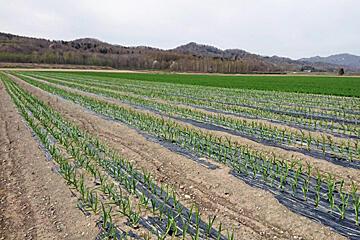 雪解けと農作業