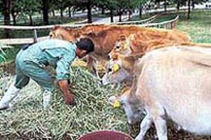 牛だって気持ちいい場所が好き ...健菜ジャージー牛乳