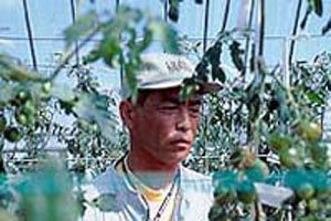 永田農法でのミニトマト栽培6年目 ...健菜のミニトマト