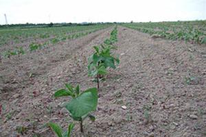 大豆の中耕をしました