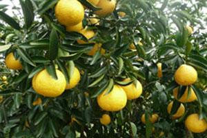 柑橘の種類を増やしました