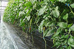 栽培が難しいトマトベリー