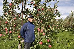 風に耐えた完熟りんご