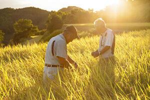 棚田は収穫直前! 新米のお届けは10月開始です