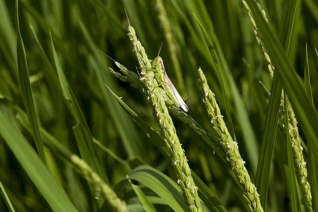 稲の花穂で休む虫